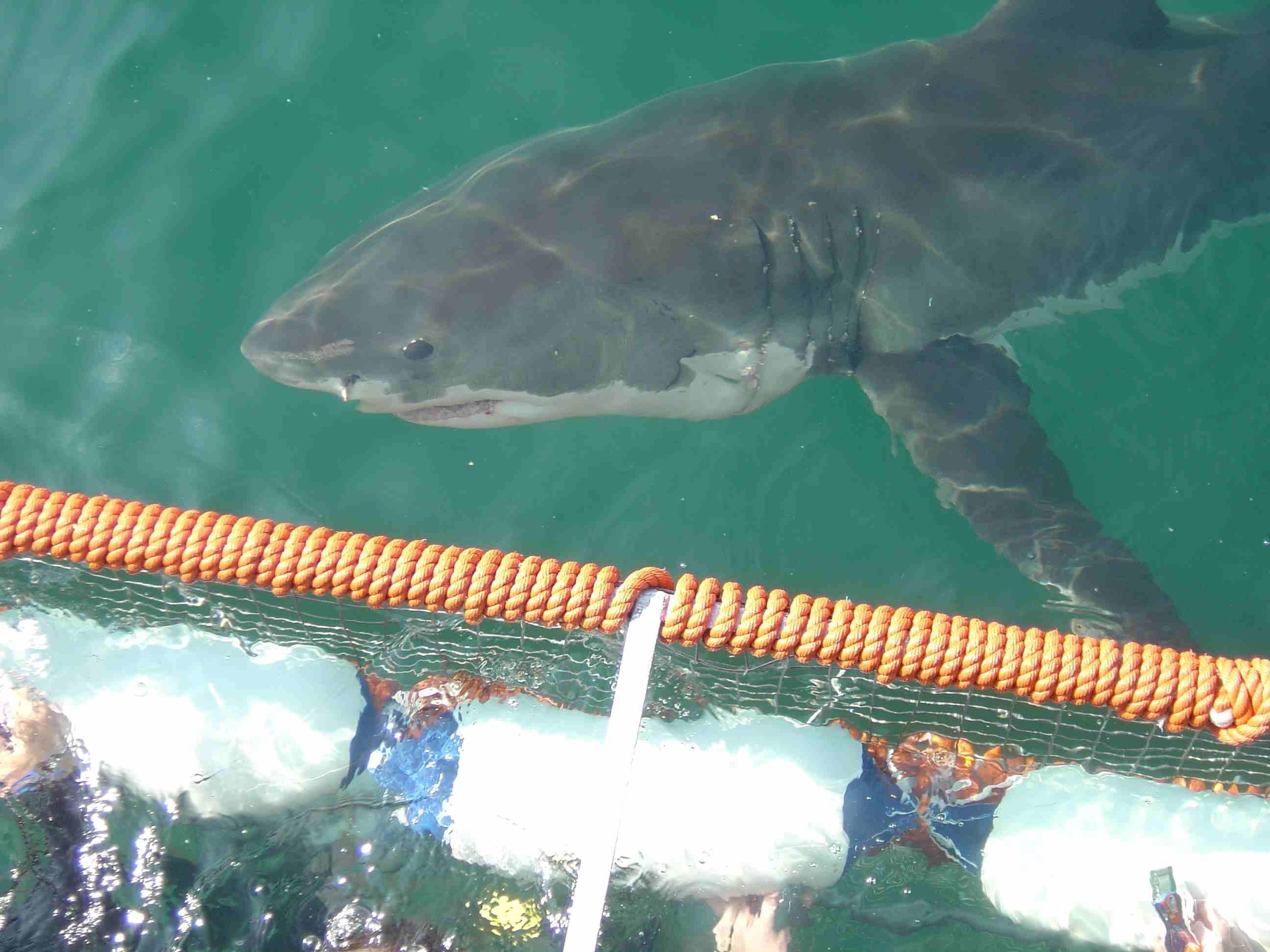 Sudafrica 2013 10 anni di spedizioni scientifiche sullo squalo bianco - Bagno con gli squali sudafrica ...